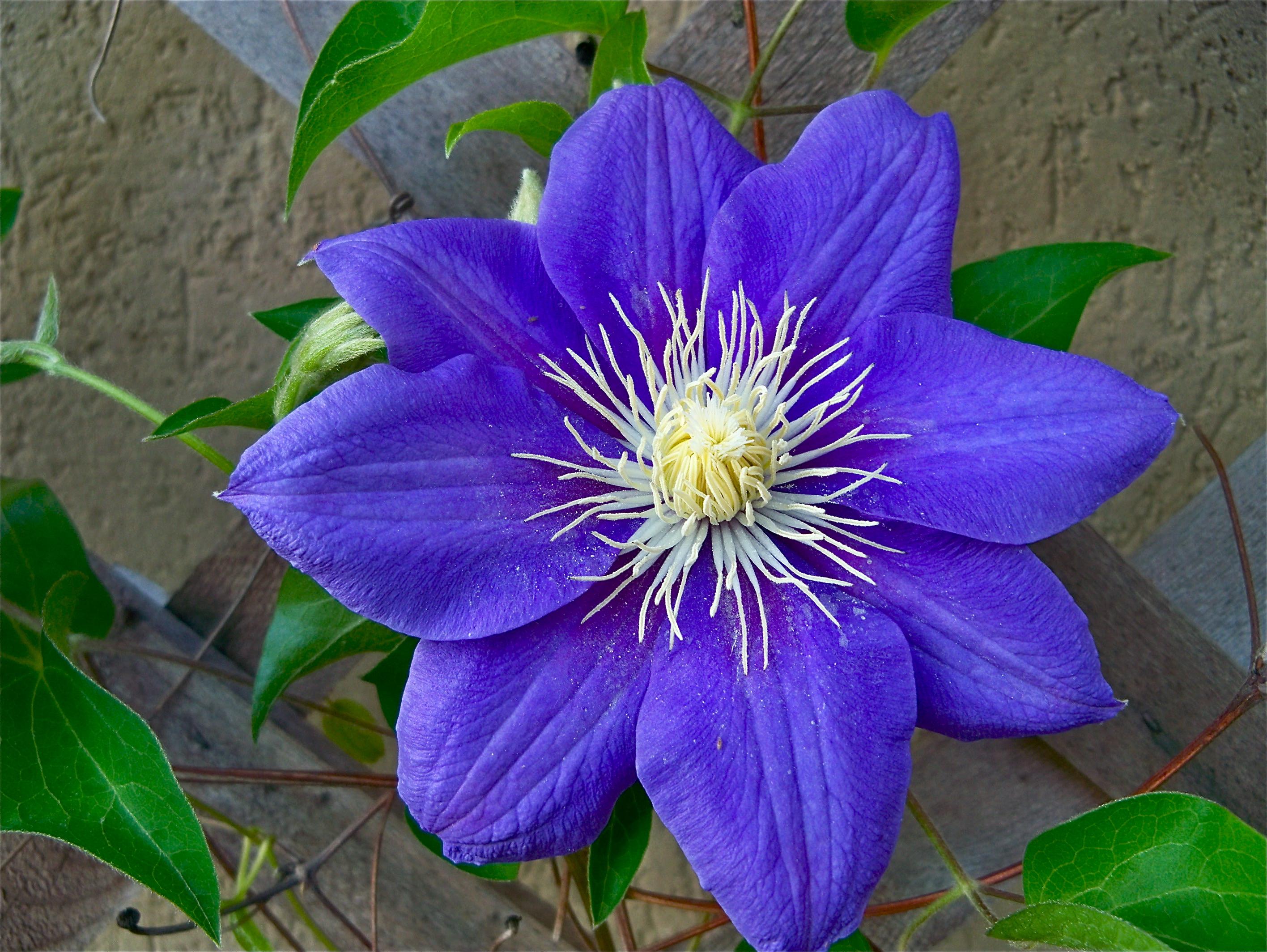 Beautiful Purple Clementines In Bloom Attracting Wellness